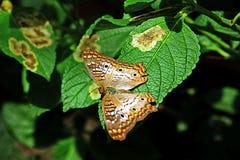 Mariposa de pavo real blanca Imagen de archivo libre de regalías