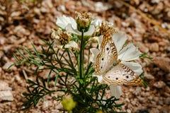 Mariposa de pavo real blanca en la flor blanca, desierto de Sonoran Fotografía de archivo libre de regalías