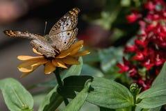 Mariposa de pavo real blanca fotos de archivo