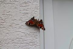 Mariposa de pavo real colorida Fotografía de archivo