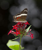 Mariposa de pavo real congregada, Anartia Fátima en la flor Imágenes de archivo libres de regalías