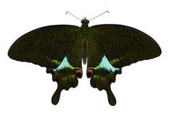 Mariposa de pavo real de París en blanco Imagenes de archivo