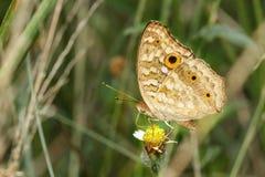 Mariposa de pavo real del pensamiento en la flor Fotos de archivo