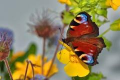 Mariposa de pavo real en la flor del mimulus Imagenes de archivo