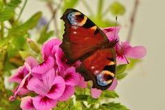 Mariposa de pavo real en la flor rosada del geranio Fotos de archivo