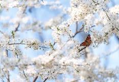 Mariposa de pavo real en las flores de cerezo Fotos de archivo
