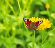 Mariposa de pavo real en una flor Imágenes de archivo libres de regalías