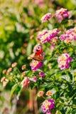 Mariposa de pavo real en una flor del Lantana Fotos de archivo