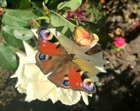 Mariposa de pavo real europea Fotos de archivo libres de regalías