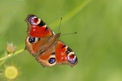 Mariposa de pavo real europea Imagen de archivo