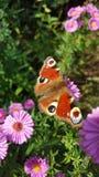Mariposa de pavo real europea Fotografía de archivo libre de regalías