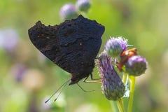 Mariposa de pavo real europea Aglais io que poliniza en luz del sol Imágenes de archivo libres de regalías