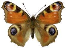 Mariposa de pavo real europea aislada Imagen de archivo