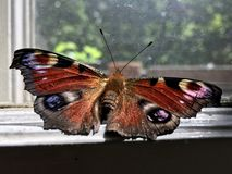 Mariposa de pavo real europea que se sienta en una ventana foto de archivo libre de regalías