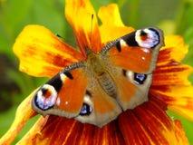 Mariposa de pavo real que descansa sobre un Gaillardia Foto de archivo
