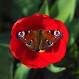 Mariposa de pavo real que descansa sobre una flor roja del tulipán en un fondo borroso verde D?a de verano asoleado Foto macra, c foto de archivo