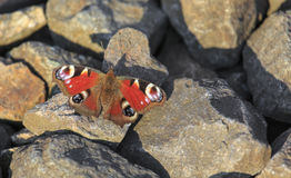 Mariposa de pavo real que se sienta en rocas Foto de archivo libre de regalías