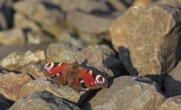 Mariposa de pavo real que se sienta en rocas Imagenes de archivo