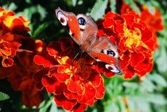 Mariposa de pavo real (Vanesa io) en la flor del tagete Imagen de archivo libre de regalías