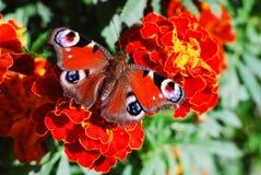 Mariposa de pavo real (Vanesa io) en la flor del tagete Imagen de archivo