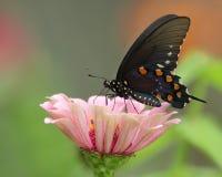 Mariposa de Pipevine Swallowtail Imagen de archivo libre de regalías