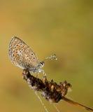 Mariposa de Polyommatus Ícaro Fotografía de archivo libre de regalías