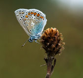 Mariposa de Polyommatus Ícaro en luz caliente Imagen de archivo