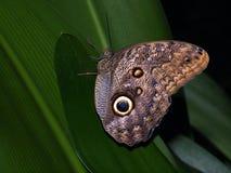 Mariposa de reclinación Foto de archivo