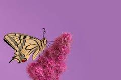 Mariposa de Swallowtail Foto de archivo libre de regalías