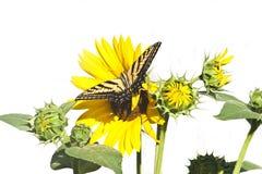 Mariposa de Swallowtail con el girasol Fotos de archivo