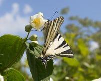 Mariposa de Swallowtail de la cebra Imagenes de archivo