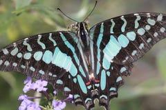 Mariposa de Swallowtail de la fruta cítrica imágenes de archivo libres de regalías
