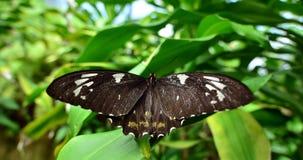 Mariposa de Swallowtail de la huerta Fotografía de archivo