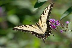 Mariposa de Swallowtail del tigre Imágenes de archivo libres de regalías