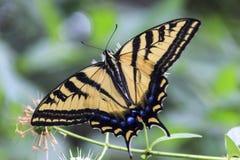 Mariposa de Swallowtail del tigre Foto de archivo libre de regalías
