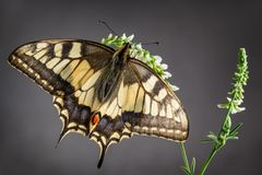 Mariposa de Swallowtail del Viejo Mundo Foto de archivo