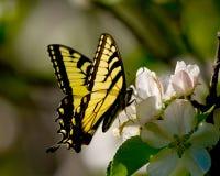 Mariposa de Swallowtail en el flor de la manzana Imagen de archivo libre de regalías