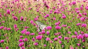Mariposa de Swallowtail en la flor almacen de video