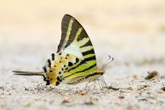Mariposa de Swordtail Imagenes de archivo