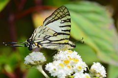 Mariposa de Swordtail de las gafas Fotografía de archivo libre de regalías