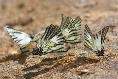 Mariposa de Swordtail de las gafas Foto de archivo libre de regalías