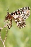Mariposa del adorno de Soutern que se reclina - vista ventraly Fotos de archivo libres de regalías