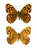 Mariposa del aegeria del aegeria de Pararge Fotografía de archivo libre de regalías