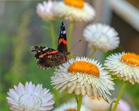 Mariposa del almirante rojo en la flor amarilla fotos de archivo