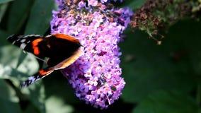 Mariposa del almirante rojo que chupa el néctar en la flor de Buddleja almacen de video