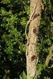 Mariposa del almirante rojo tres en el árbol (atalanta de Vanesa) Imagen de archivo libre de regalías