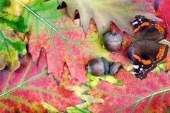 Mariposa del almirante rojo y hojas brillantes del roble rojo bellota en las hojas del roble bellota en bosque del roble imagen de archivo libre de regalías