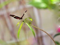 Mariposa del Arcus en la pajarera, la Florida Fotos de archivo