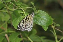Mariposa del arlequín Imágenes de archivo libres de regalías