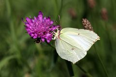 Mariposa del azufre Imágenes de archivo libres de regalías